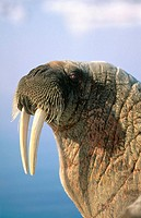 Atlantic walrus (Odobenus rosmarus rosmarus). Arctic and Subarctic waters