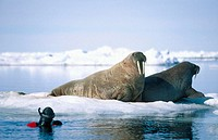 Atlantic walrus (Odobenus rosmarus rosmarus) with diver. Arctic and Subarctic waters