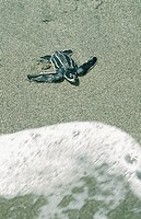 Leatherback turtle (Dermochelys coriacea) hatchling crossing beach and entering surf. Tropical all oceans