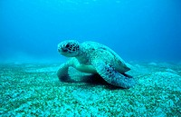 Green turtle (Chelonia mydas) adult male. Tropical Indo Pacific from the Red Sea to Vanuatu