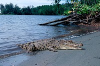 Indopacific or estuarine crocodile (Crocodylus porosus) sunbathing on beach (thermoregulation). Tropical India to Vanuatu