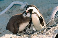 African penguin (Spheniscus demersus) mother feeding chick