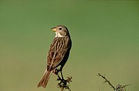 Corn Bunting (Miliaria calandra)