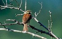 Cirl Bunting (Emberiza cirlus)