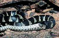 Eastern Kingsnake (Lampropeltis getulus) eating Gopher Snake (Pituophis melanoleucus)