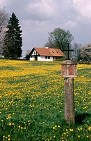 Dandelions field near Krumau. Bohemian forest. Czech Republic