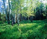 Aspen trees in meadow. Gran Teton National Park. Wyoming, USA