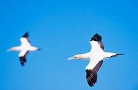 Two flying cape gannets (Morus capensis) and blue sky at Bird Island. Lambert´s Bay. South-Africa