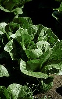 A romaine lettuce in the field