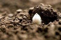 White asparagus tip peeping through the soil