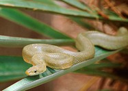 Green Rat Snake (Elaphe triaspis). Arizona, USA