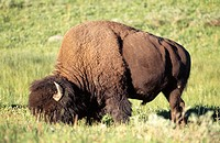 Bison (Bison bison). Yellowstone National Park. Wyoming. USA