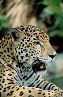 Wildlife, Mammal, Jaguar, Adult animal,