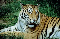 Wildlife, Mammal, Tiger, Bengal Tiger,