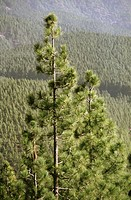 Pine Trees. Tenerife. Canary Islands. Spain