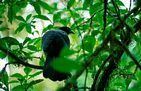 animal, animals, bird, birds, black, Cloud Forest Reserva Santa Helena, Costa Rica, Central America, nature, primeva