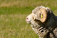 Saxon merino sheep in pasture, side view. New Zealand