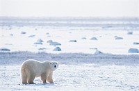Polar Bear in An Ice Landscape