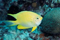 Damselfish or Amblyglyphidodon aureus (thumbnail)