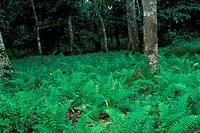Ferns at Bukit Nanas, Kuala Lumpur, Malaysia