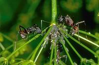 Ants (Camponotus cruentatus) ´milking´ aphids