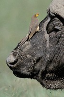 Yellowbilled Oxpecker (Buphagus africanus) and Cape Buffalo (Syncerus caffer). Masai Mara. Kenya