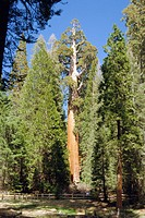 Giant sequoia (Sequoiadendron giganteum). This is the ´General Grant´ giant sequoia tree, which has the largest diameter of all giant sequoia trees, m...