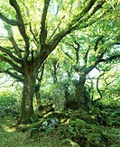 Ancient oak woodland. The trees are covered in mosses and tree ferns. Photographed at Ty Canol, Wales.