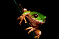 Forest Tree Frog, St Lucia, KwaZulu Natal, South Africa