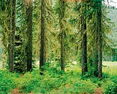 USA, Oregon, moss covered trees in forest