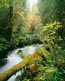Lost creek and old growth forest. Willamette National Forest. Oregon. USA