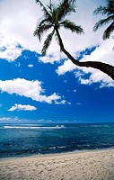 Curved Palm Tree, Oahu