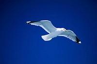 Seagull Over Helsinki, Finland