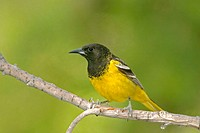Male Scott´s Oriole (Icterus parisorum)