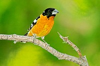 Male Black-headed Grosbeak (Pheucticus melanocephalus)