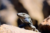 Canary Islands Lizard (Gallotia galloti). Caldera de Taburiente National Park. La Palma. Canary Islands. Spain