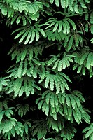 American Maidenhair Fern (Adiantum pedatum). Redwood National Park. California. USA