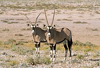 Two Oryxes (Oryx gazella). Etosha National Park. Namibia
