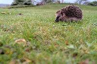 Igel im Gras