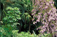 Chinese Wisteria (Wisteria sinensis) along with different palm trees. La Concepción Botanical Garden. Malaga province. Spain