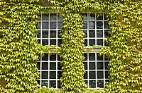 Windows in an ivy-clad wall