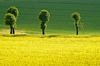 Row of trees in a rape field