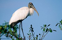 Wood Stork (Mycteria americana) in a tree. Everglades NP. Florida. USA