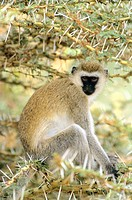 Vervet Monkey (Cercopithecus aethiops). Lake Manyara National Park, Tanzania