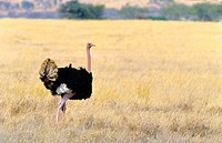 Ostrich (Struthio camelus). Serengeti National Park, Tanzania