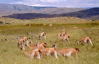 Guanacos (Lama guanicoe). Patagonia. Chile