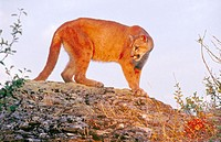 Mountain lion (Puma concolor), also called cougar, puma, panther and catamount. Kalispell. Montana. USA