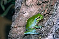 Stripeless Tree Frog (Hyla meridionalis) with blue spots