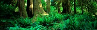 10485693, cutting, part, trees, fern, inside, scenery, Olympic, national park, USA, America, North America, wood, forest, Wash