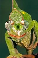 Three horn Chameleon (Chamaeleo deremensis), captive